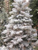 ILLUMINATED FLOCKED FRASER FIR TREE
