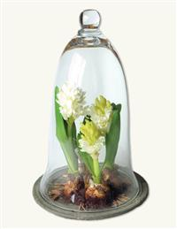 Hyacinth Under Glass